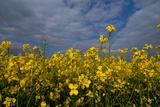 Rape Field Flowers