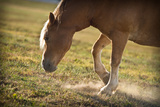 Horse Pawing In Pasture