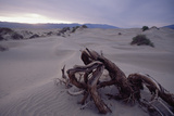 Death Valley Tree  California