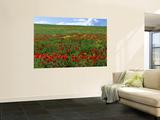 Naturalized Corn Poppies  Cache Valley  Utah  USA