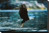 Bald Eagle Flying Low Over Water