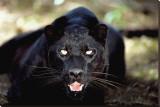 Black Panther Close-Up Tableau sur toile