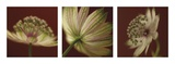 Astrantia on Red Triptych