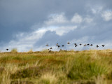 Uk; Yorkshire; a Covey of Grouse Fly Low and Fast over the Heather on Bingley and Ilkley Moor