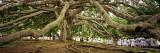 Sri Lanka  Kandy  Peradeniya Botanic Gardens; School Girls Pass by a Bodhi  or Pipal  Tree
