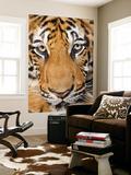 Portrait  Indochinese Tiger or Corbett's Tiger (Panthera Tigris Corbetti)  Thailand