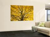Beech Tree in Autumn  Surrey  England