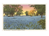 Blue Bonnets  State Flower of Texas