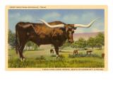 Longhorn Steer  Rockdale  Texas