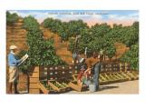 Picking Avocados  San Diego County  California
