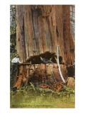 Giant Cedar Tree  Washington