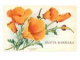 California Poppy  Santa Barbara  California