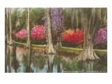 Cypresses in Magnolia Gardens  Charleston  South Carolina