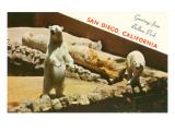 Polar Bears  San Diego Zoo