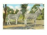Chapman Zebras  San Diego Zoo