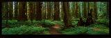 Séquoias Reproduction d'art par Alain Thomas