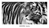 Yeux de tigre Reproduction d'art par Xavier Ortega
