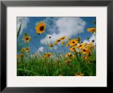 Wild Sunflowers in a Field