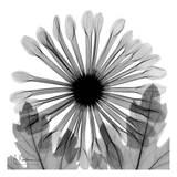 Chrysanthemum in Black and White