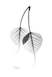 Bodhi Tree Leaves in Black and White