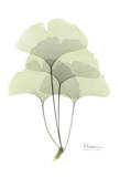 Ginkgo in Pale Green