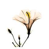 Hibiscus Reproduction d'art par Albert Koetsier