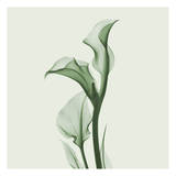 Calla Lilly in Green