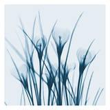 Crocus Blue