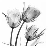 Three Tulips in Black and White Reproduction d'art par Albert Koetsier