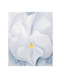 White Pansy  c1927
