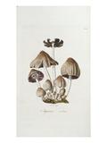 Fungi Agaricus Ovalus  from 'Flora Londinesis'