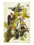 Pileated Woodpecker (Dryocopus Pileatus)  Plate Cxi  from 'The Birds of America'