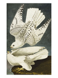 Iceland or Jer Falcon Gyrfalcon (Falco Rustiocolis)  from 'The Birds of America'
