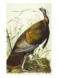 Great American Beck Male. Wild Turkey (Meleagris Gallopavo), Plate I, from 'The Birds of America' Giclée par John James Audubon