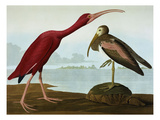 Scarlet Ibis (Eudocimus Ruber)  Plate Cccxcvii  from 'The Birds of America'
