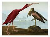 Scarlet Ibis (Eudocimus Ruber), Plate Cccxcvii, from 'The Birds of America' Giclée par John James Audubon