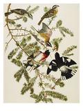 Rose-Breasted Grosbeak (Pheuticus Ludovicianus)  Plate Cxxvii  from 'The Birds of America'