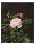 A Maria Larpin Rose