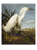 Snowy Heron or White Egret / Snowy Egret (Egretta Thula), Plate CCKLII, from 'The Birds of America' Giclée par John James Audubon
