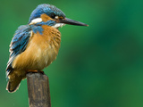 An Adult Male Common Kingfisher  Alcedo Atthis  Perches on a Branch