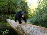 A Remote Camera Captures a Black Bear Crossing a Fallen Log