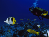A Diver Swims with Butterfly Fish and Other Fish