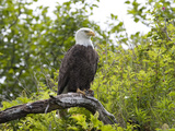 An American Bald Eagle  Haliaeetus Leucocephalus  Perched in a Tree
