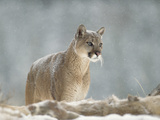 Mountain Lion or Cougar (Felis Concolor) Standing in Snow Bank  Montana