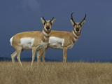 Pronghorn Antelope (Antilocapra Americana) Female  Left  and Male on Grassland  Oregon