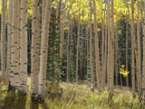 Grove of American Aspen Trees at Sunset in Autumn