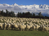 Domestic Sheep (Ovis Aries) in the Southern Alps  Rakaia River Valley  Canterbury  New Zealand