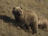 Grizzly Bear (Ursus Arctos)  Alaska