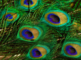 Close Up of a Bunch of Peacock Tail Feathers