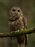 A Threatened Northern Spotted Owl in a Redwood Forest